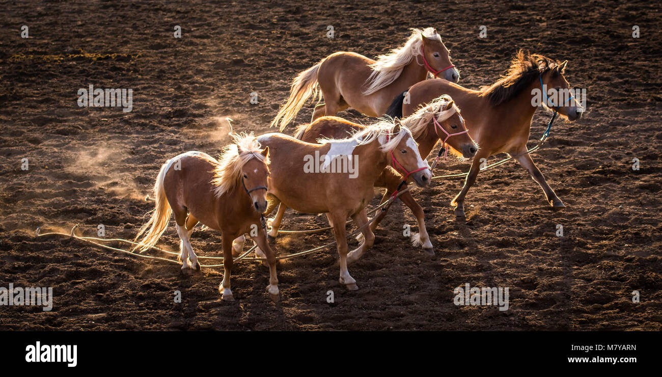Adorable ponies running with the beautiful backlighting. The ponies lost their junior riders during a racing competition. - Stock Image