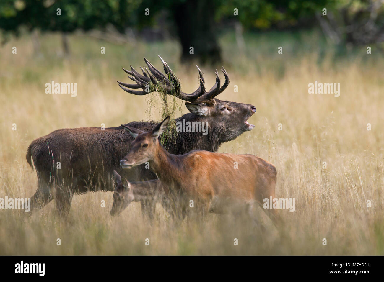 Red deer (Cervus elaphus) hinds and stag bellowing in grassland at forest's edge during the rut in autumn Stock Photo