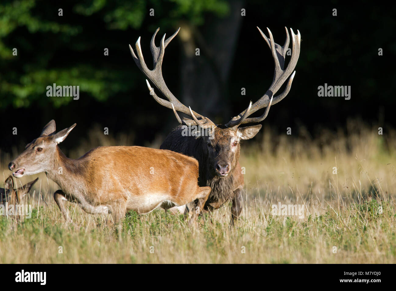 Red deer (Cervus elaphus) stag chasing hind / female in heat during the rutting season in autumn - Stock Image