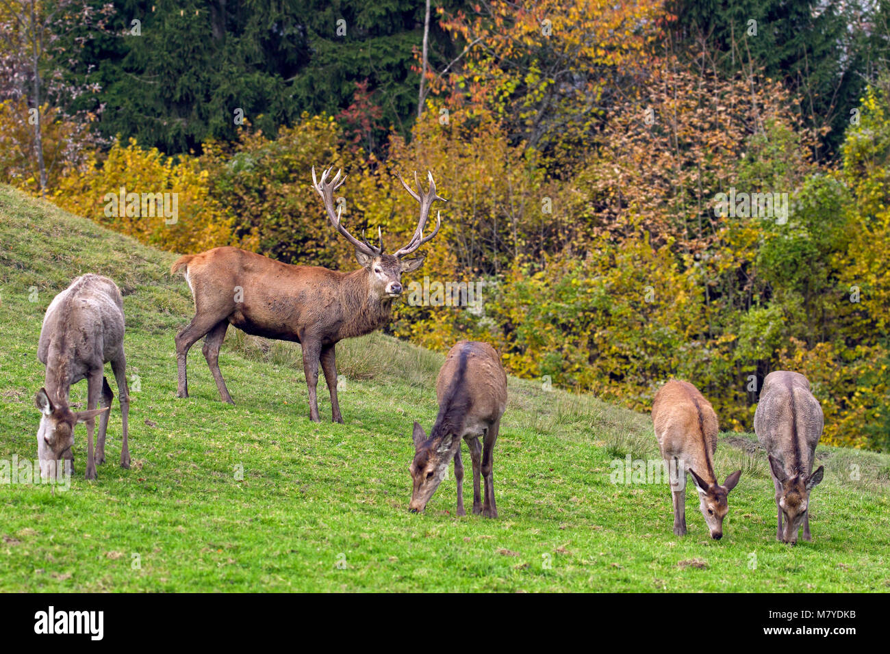 Herd of red deer (Cervus elaphus) stag with hinds / females grazing in grassland at forest's edge during the rut Stock Photo