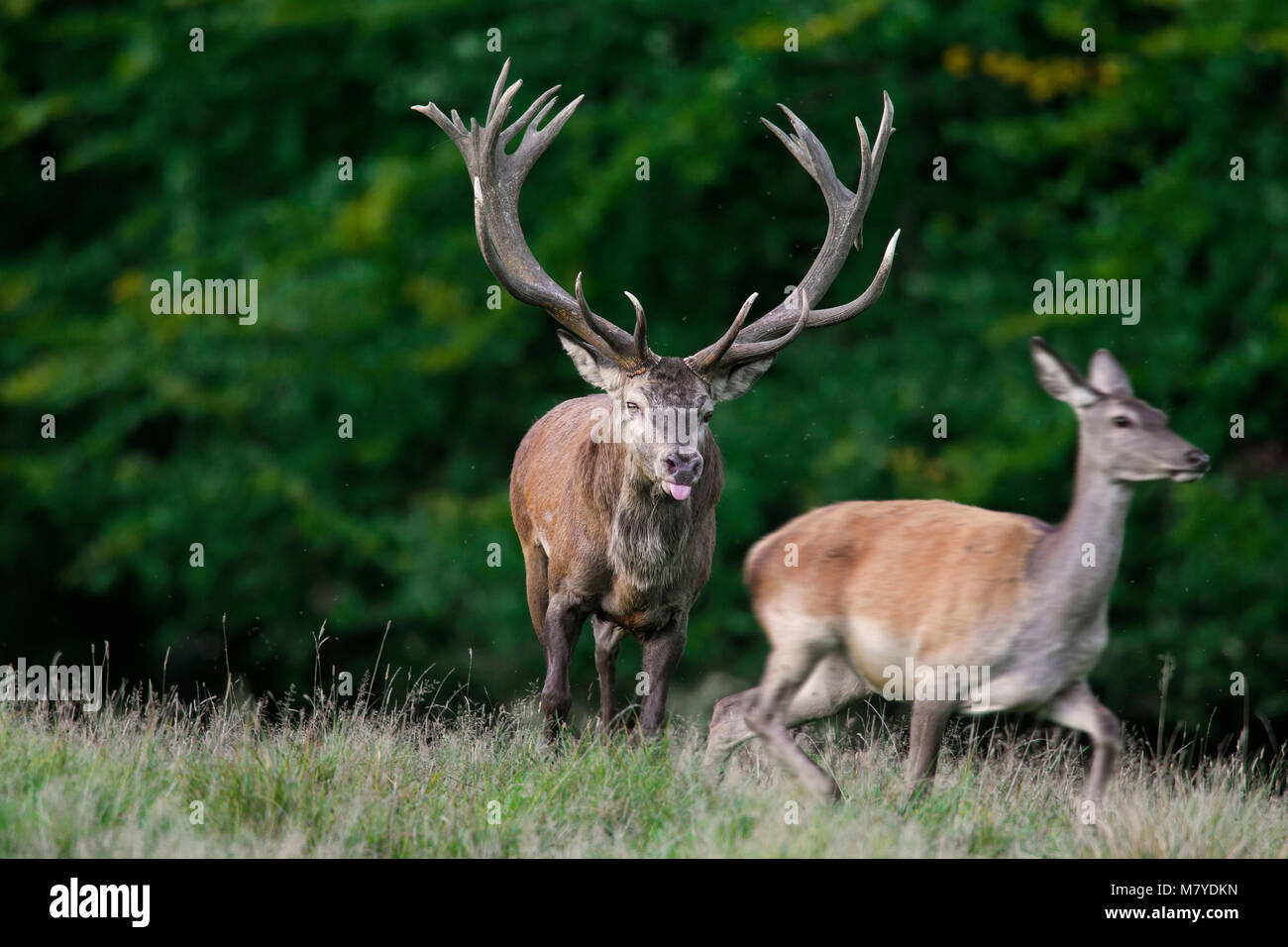 Red deer (Cervus elaphus) stag checking out hind / female in heat by flicking tongue during the rut in autumn - Stock Image