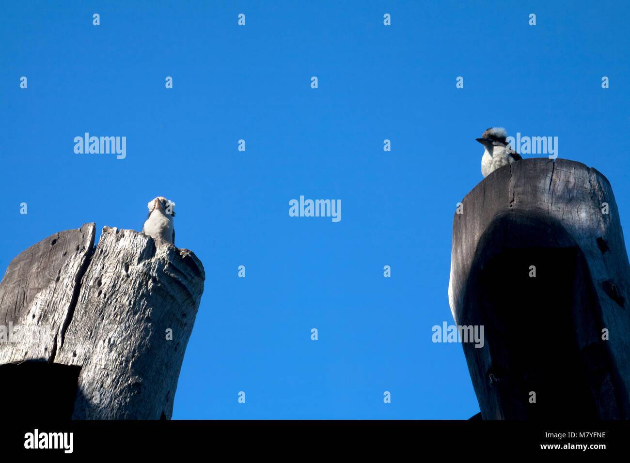 kookaburra headland park middle head peninsular mosman sydney new south wales australia - Stock Image