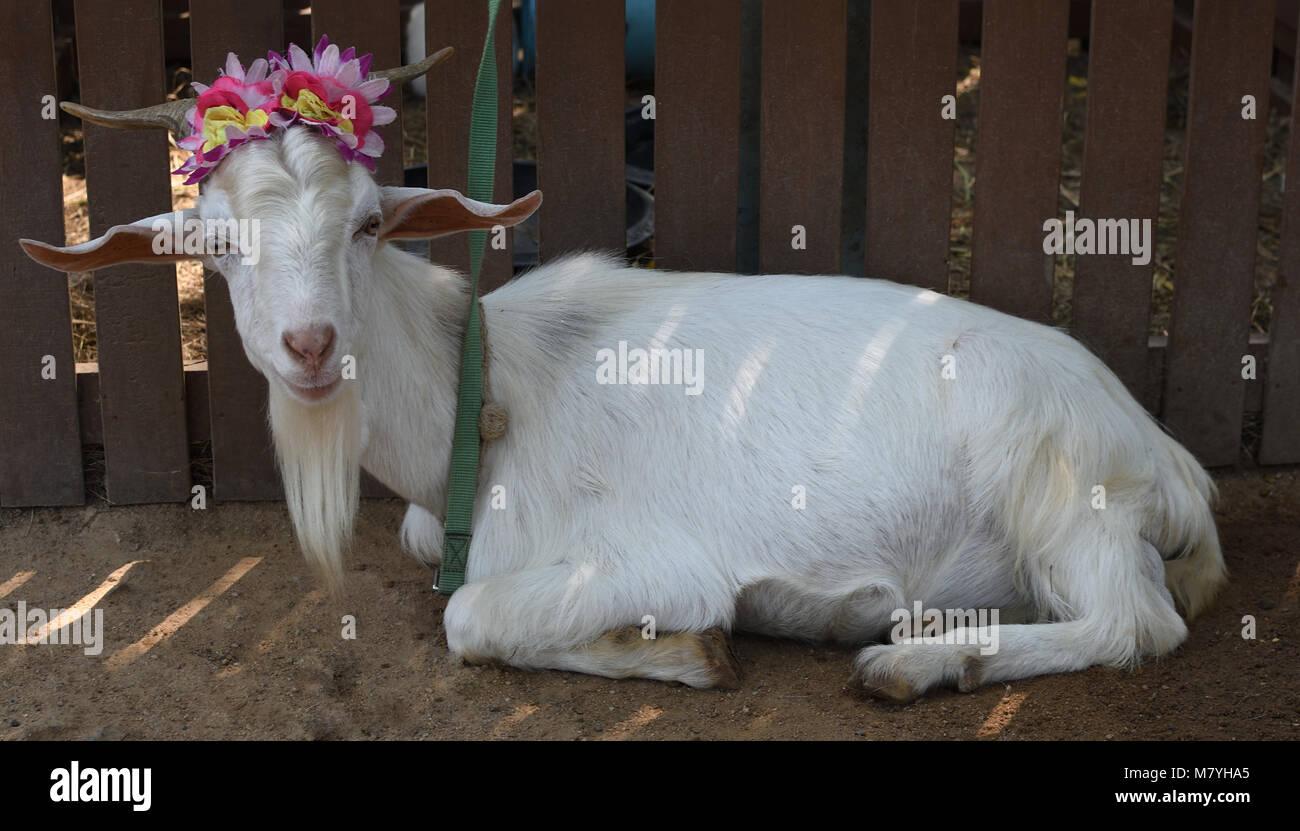 Nanny goat laying, sitting down - Stock Image
