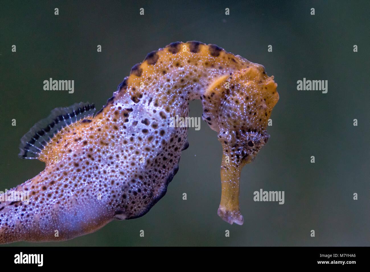 Longsnout Seahorse - Stock Image