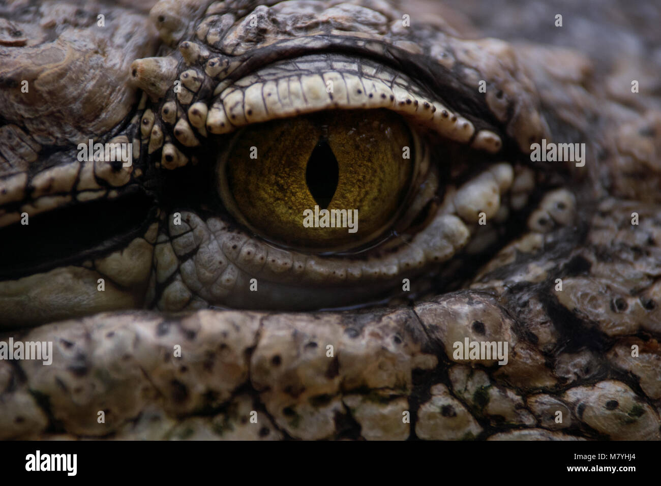 Detail of the eye of a nile crocodile - Stock Image