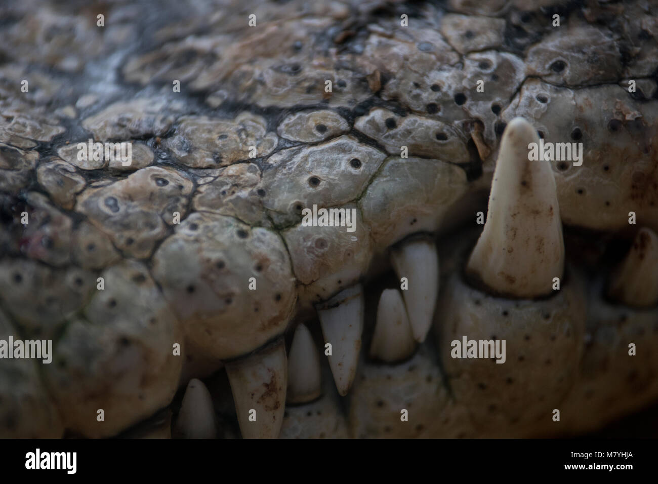 Detail of the fangs of a nile crocodile - Stock Image