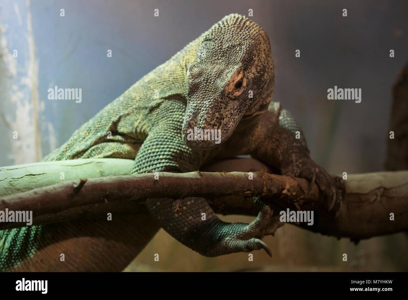 Komodo dragon in a terrarium Stock Photo