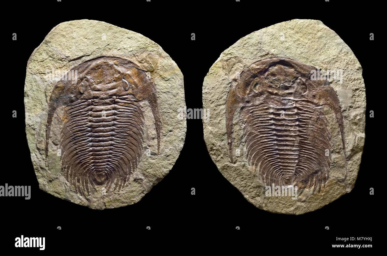 Fossil trilobite, part & counterpart, positive & negative imprints in the rock matrix. Paradoxides sp. Jbel - Stock Image