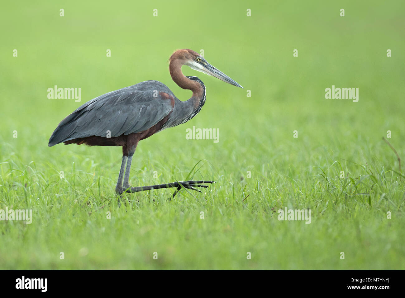 Goliath Heron looking for food - Stock Image
