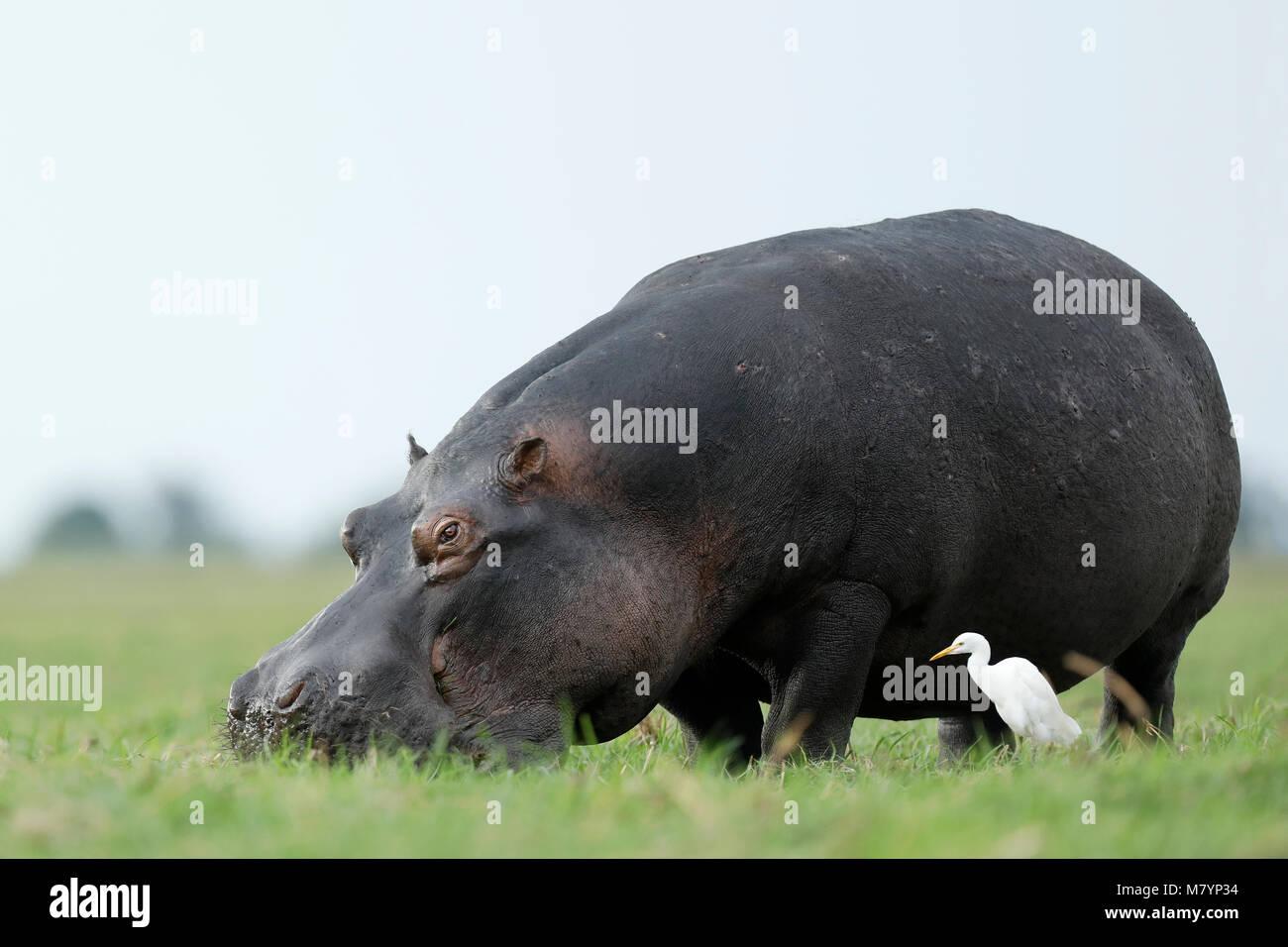 Hippo in Chobe National Park, Botswana - Stock Image