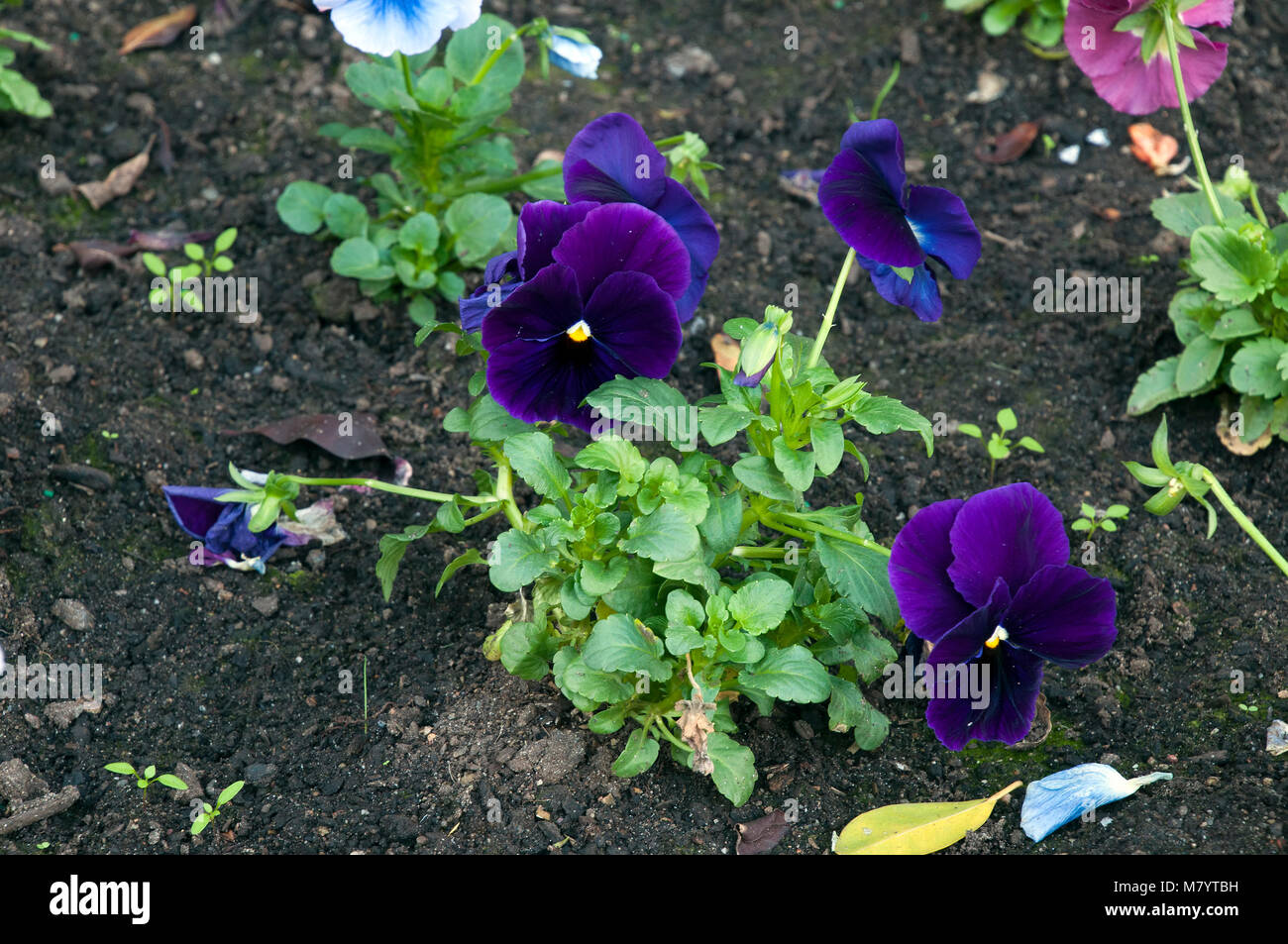 Sydney Australia, flowerbed with dark purple pansies Stock Photo