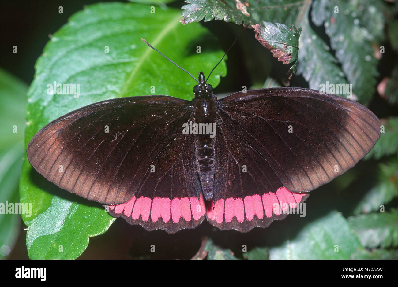 Red-rim butterfly (Biblis hyperia) Nymphalidae, Brazil - Stock Image