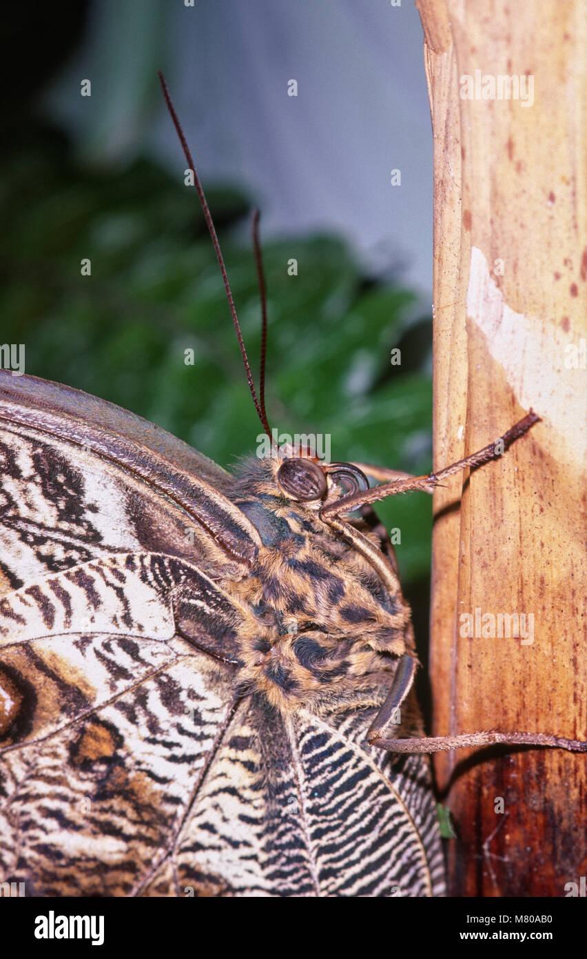 Owl Butterfly, Caligo sp (Nymphalidae), Parque das Aves, Foz do Iguacu, Brazil - Stock Image