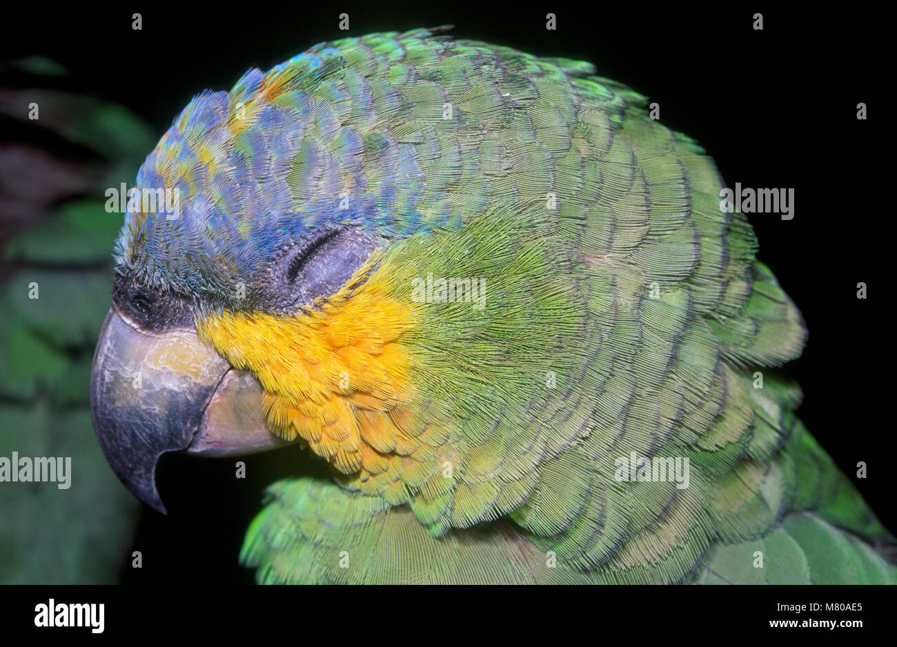 Orange-winged amazon (Amazona amazonica) sleeping, Parque das Aves, Foz do Iguaçu, Brazil - Stock Image