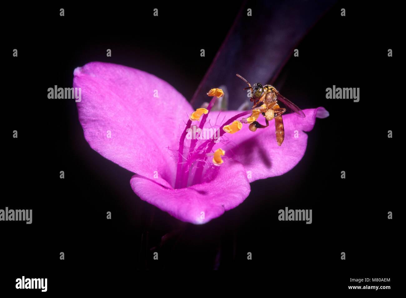 Eusocial stingless bee (Tetragonisca angustula), Foz do Iguaçu, Brazil - Stock Image