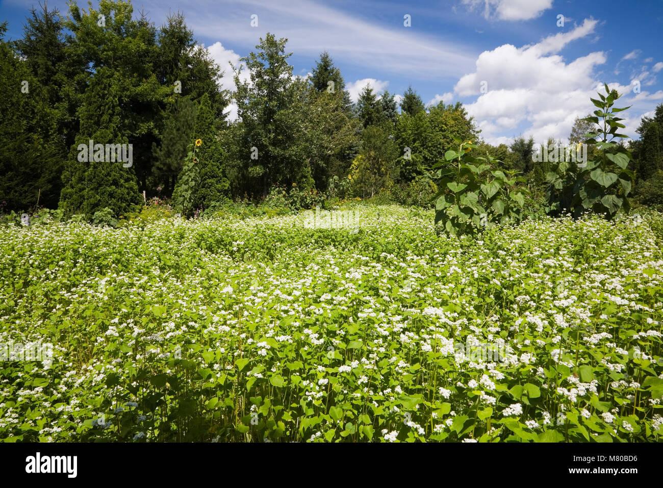 Field Of White Flowers In A Landscaped Backyard Garden In Summer