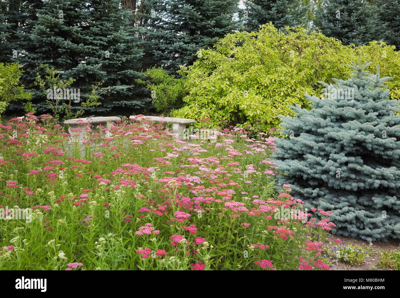 Two stone benches bordered by a hydrangeasHydrangea on the right and yarrow Achillea Millefolium Pink Lady perennial - Stock Image