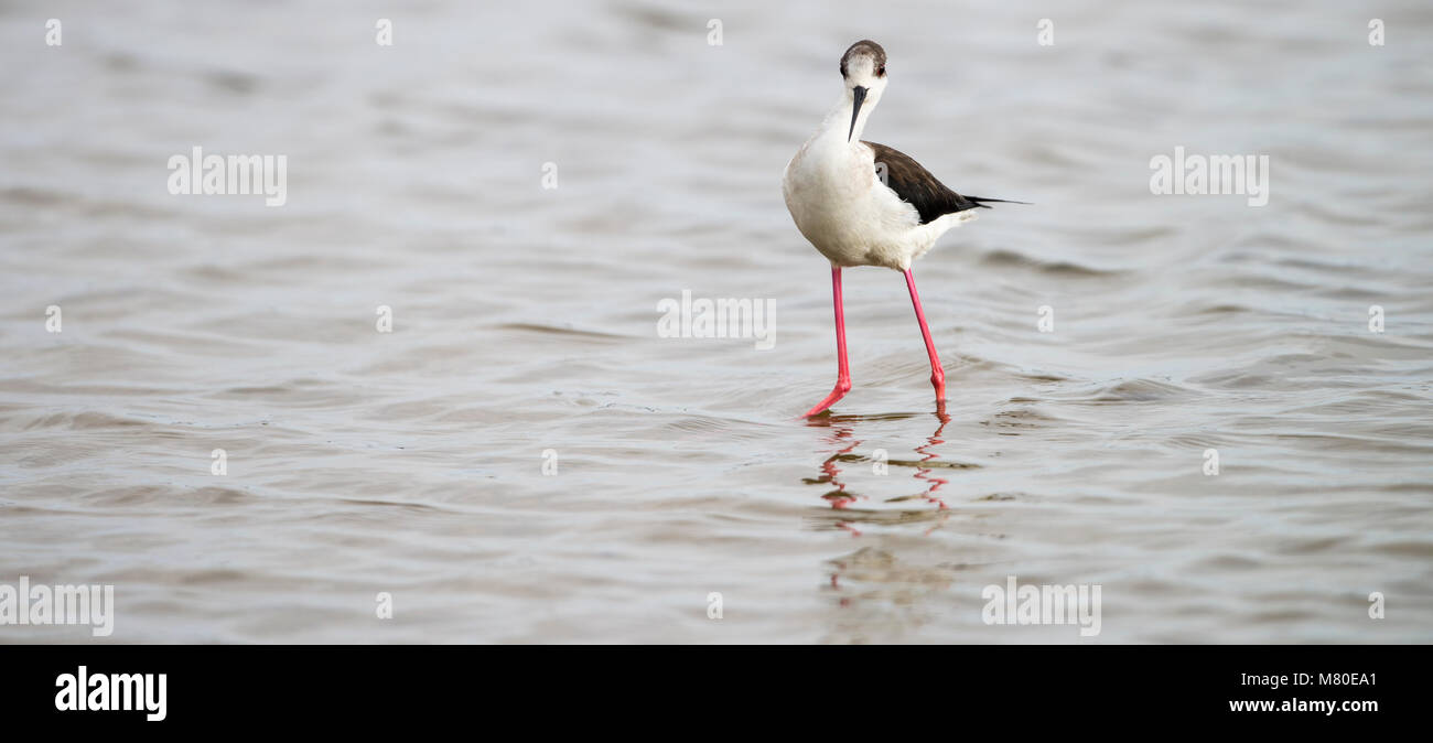 Black-winged stilt panorama at laguna of the l'Alfacada, under supervision of Monnatura Delta at Parc natural del Stock Photo
