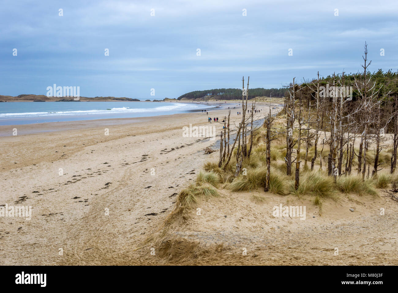 UK, Anglesey, Newborough, 11th March 2018. A view towards Llanddwyn Island with the forest and dead wood trees in the foreground. Stock Photo