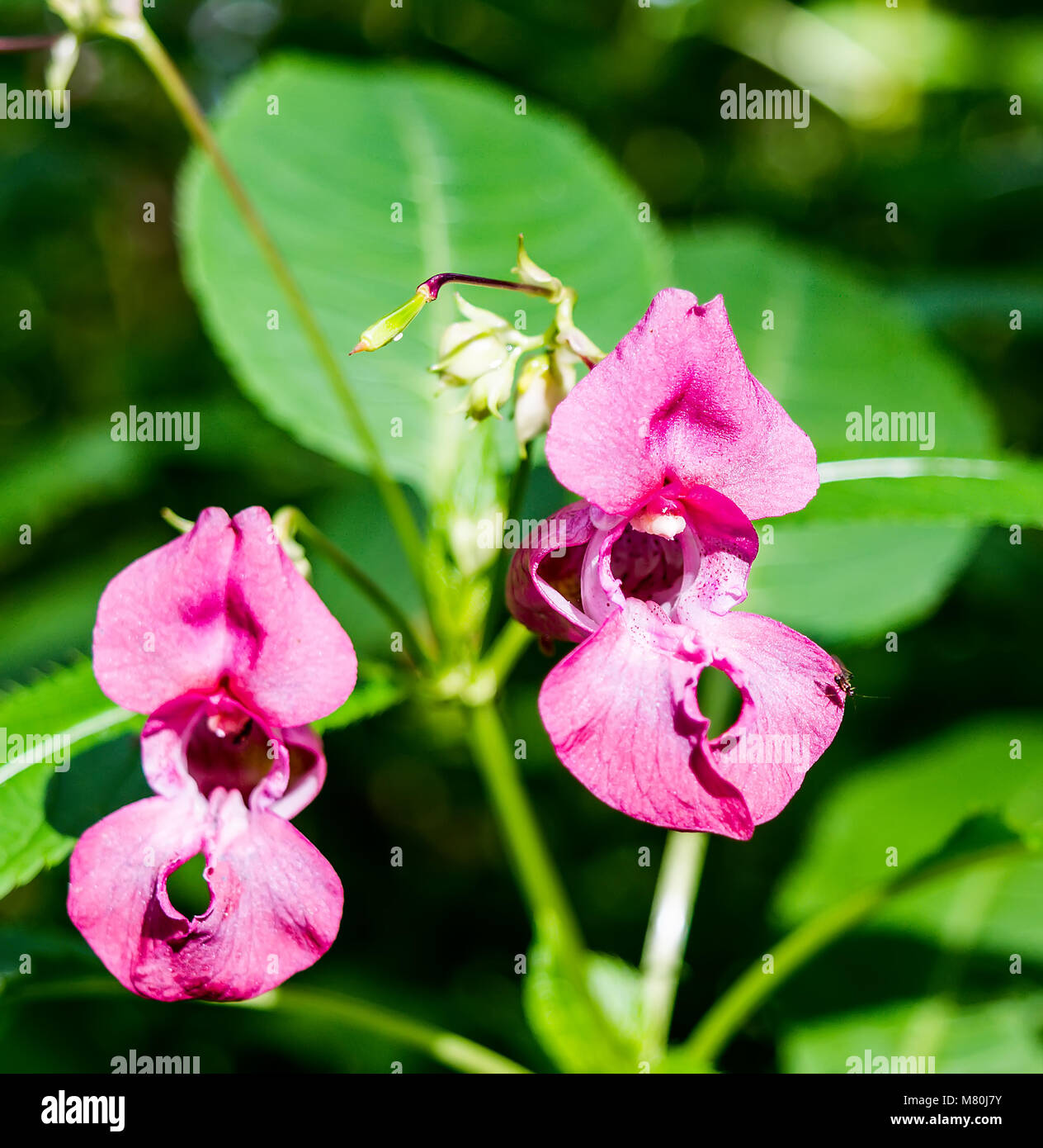 Close-up of pink Himalayan Balsam flowers Stock Photo