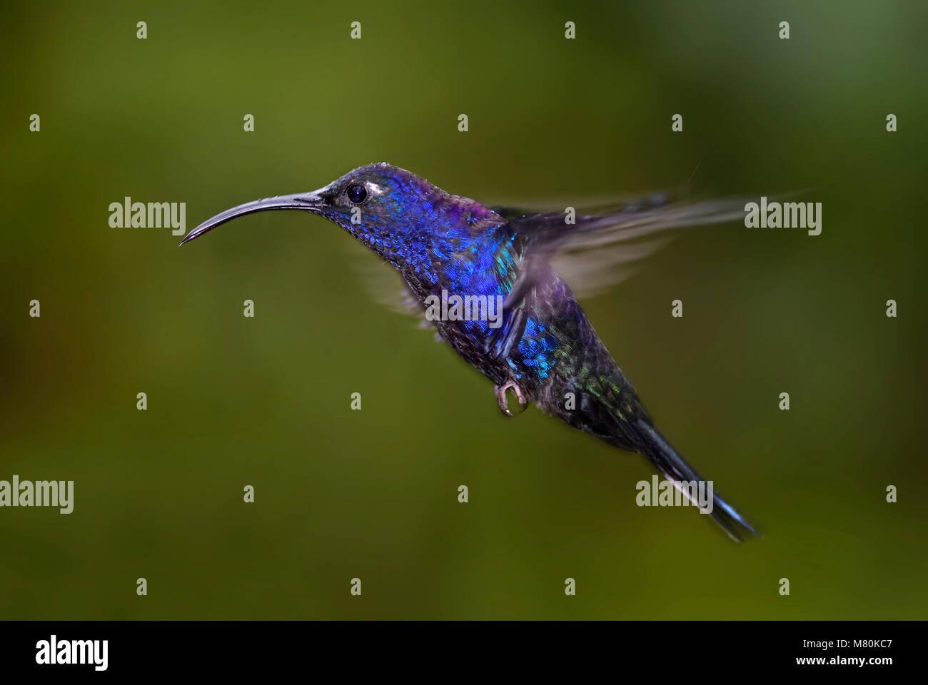 Violet Sabrewing - Campylopterus hemileucurus, beautiful blue hummingbird from Costa Rica La Paz. Stock Photo