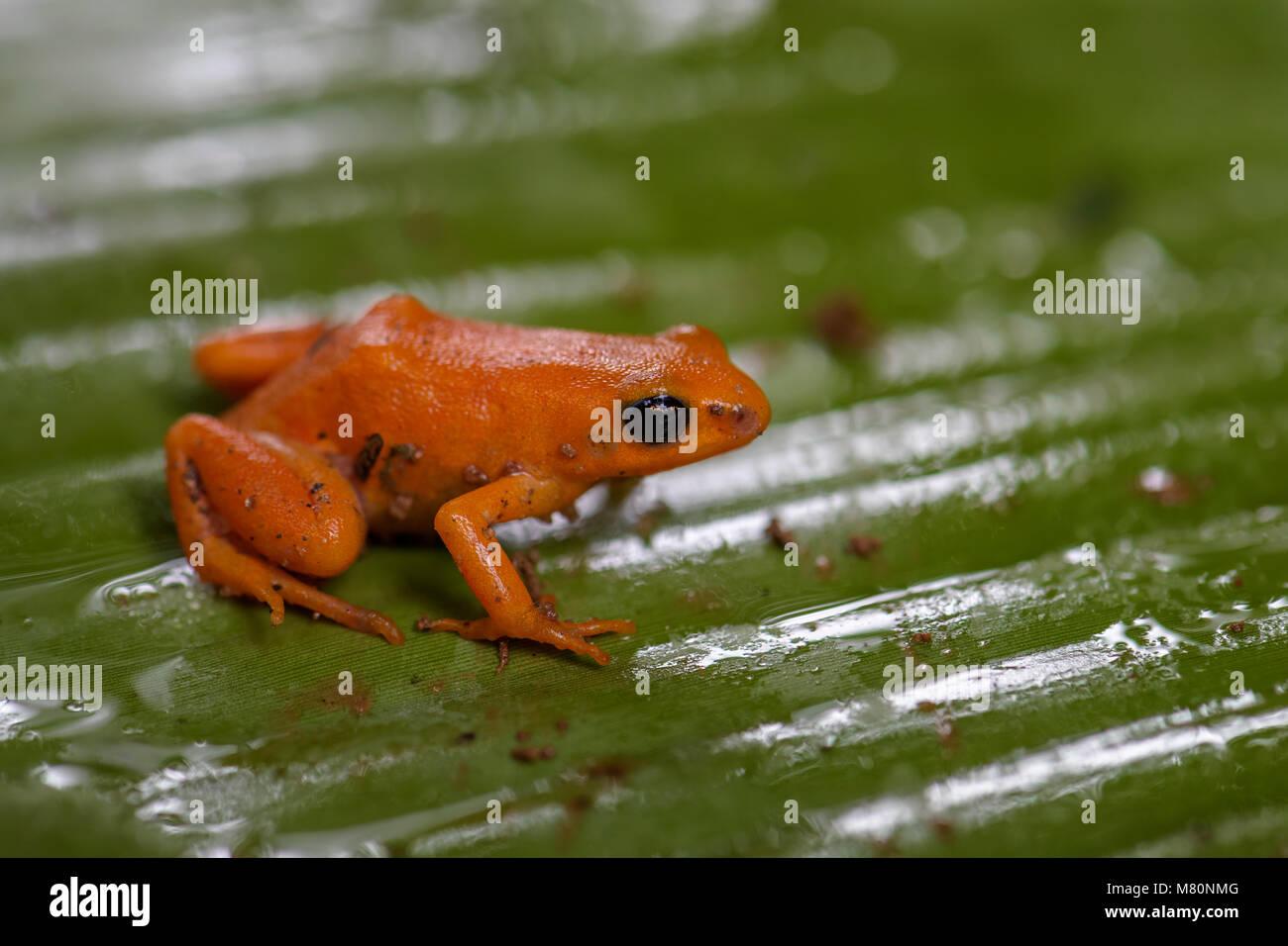 golden mantella - Mantella aurantiaca, beautiful endemic golden frog from Madagascar rain forest. - Stock Image