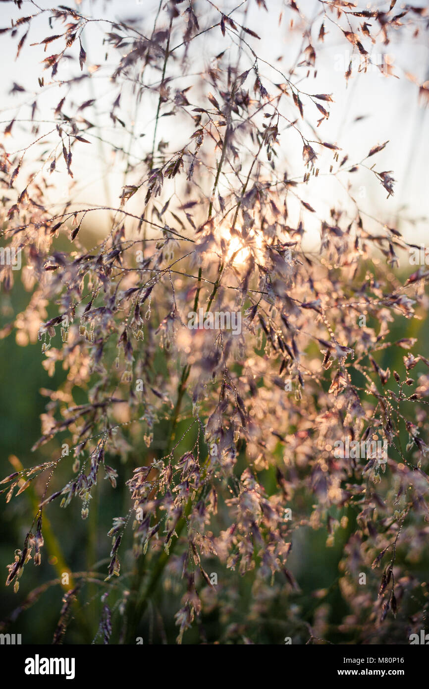 The summer rising sun shines through the stems of meadow grass. Selective focus. - Stock Image