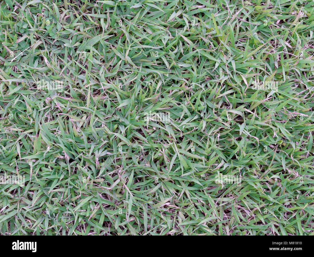 Grass, grass family (Gramineae) is a space Beach monocots. - Stock Image