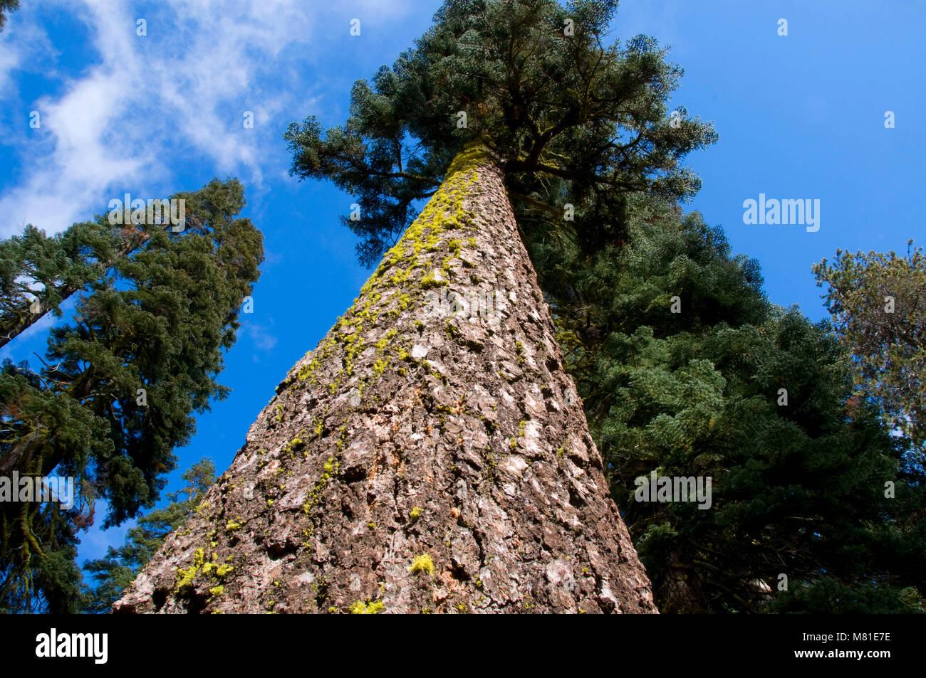 Shasta red fir, Yosemite National Park, California - Stock Image