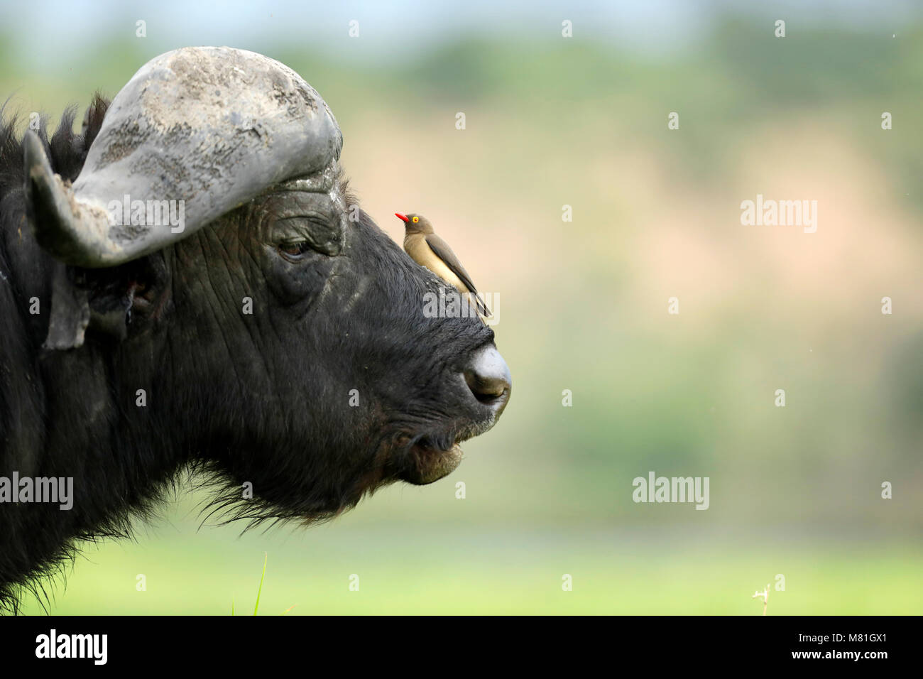 A buffalo rests in the Chobe National Park, Botswana. - Stock Image