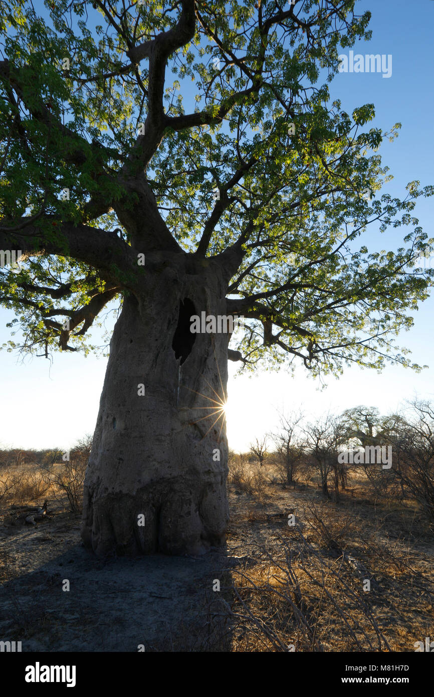 A baobab tree at dusk - Stock Image