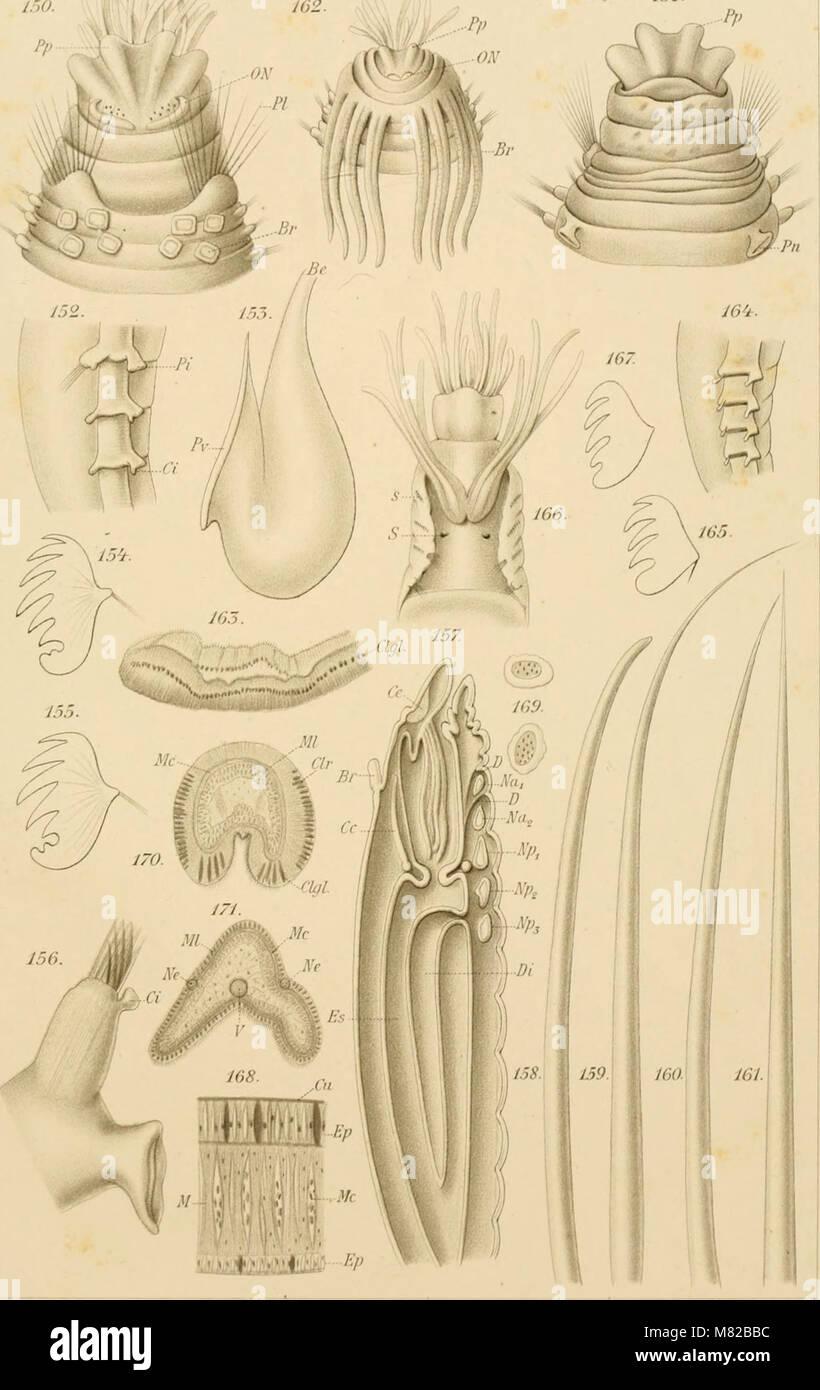 Bulletin biologique de la France et de la Belgique (1897) (20404023646) Stock Photo