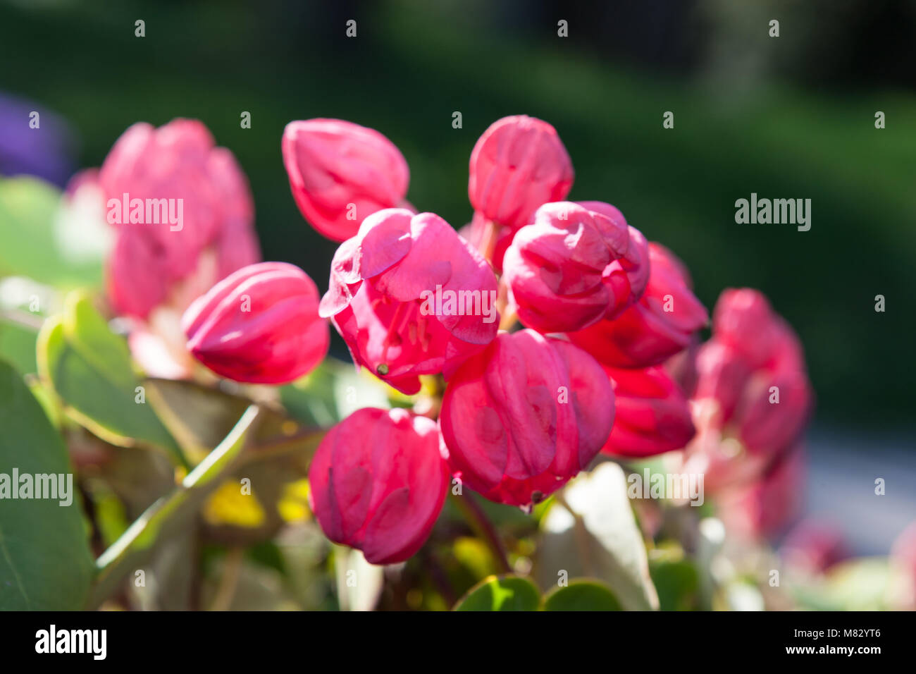 Round-leaved Rhododendron, Rundbladig rododendron (Rhododendron orbiculare) - Stock Image