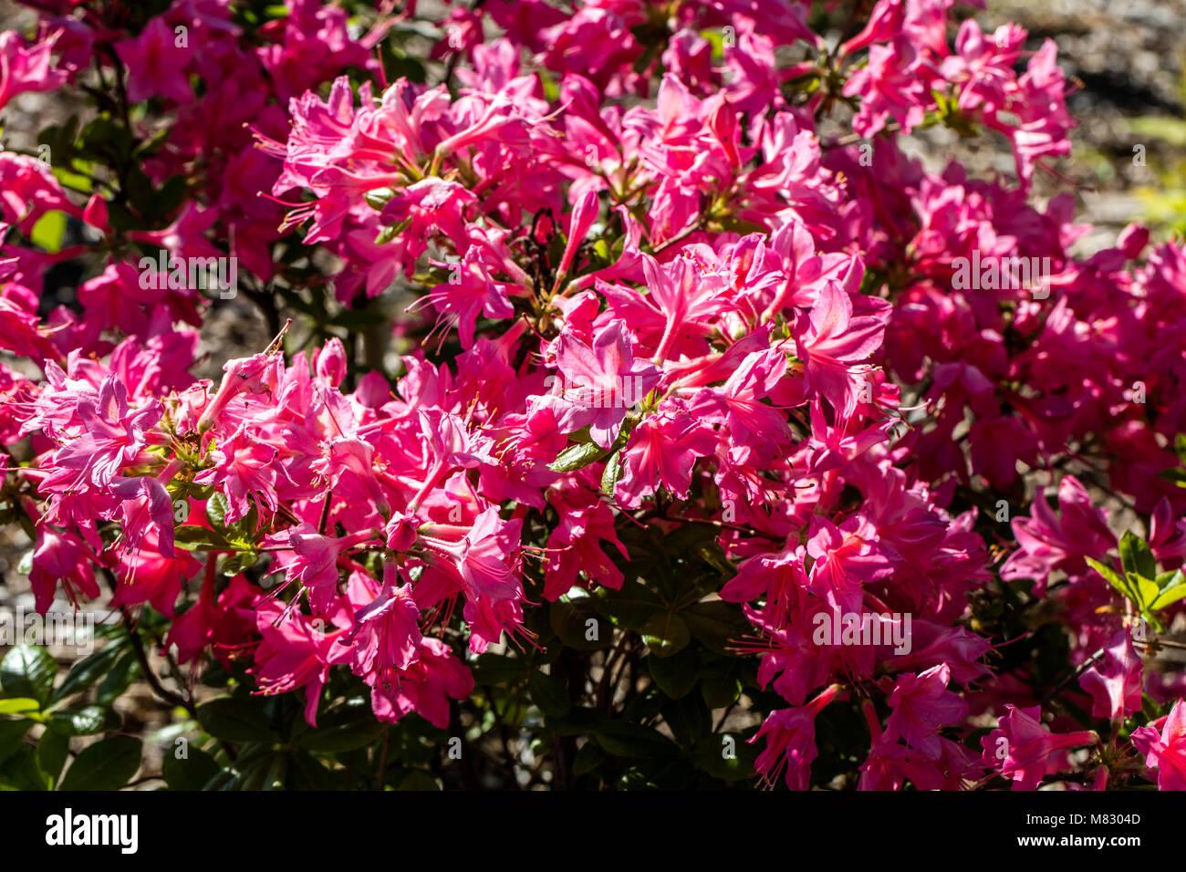'Jolie Madame' Viscosa azalea, Viscosa gruppen (Rhododendron hybrida) - Stock Image