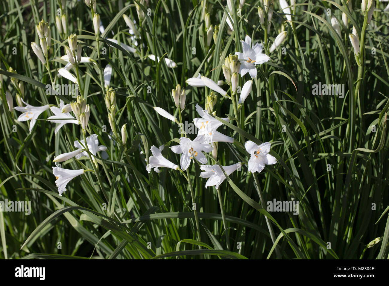 St. Bruno's lily, Paradislilja (Paradisea liliastrum) - Stock Image