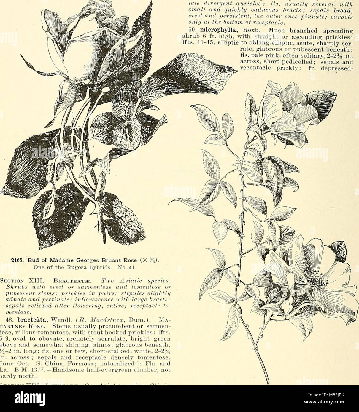 Cyclopedia of American horticulture, comprising suggestions for cultivation of horticultural plants, descriptions Stock Photo