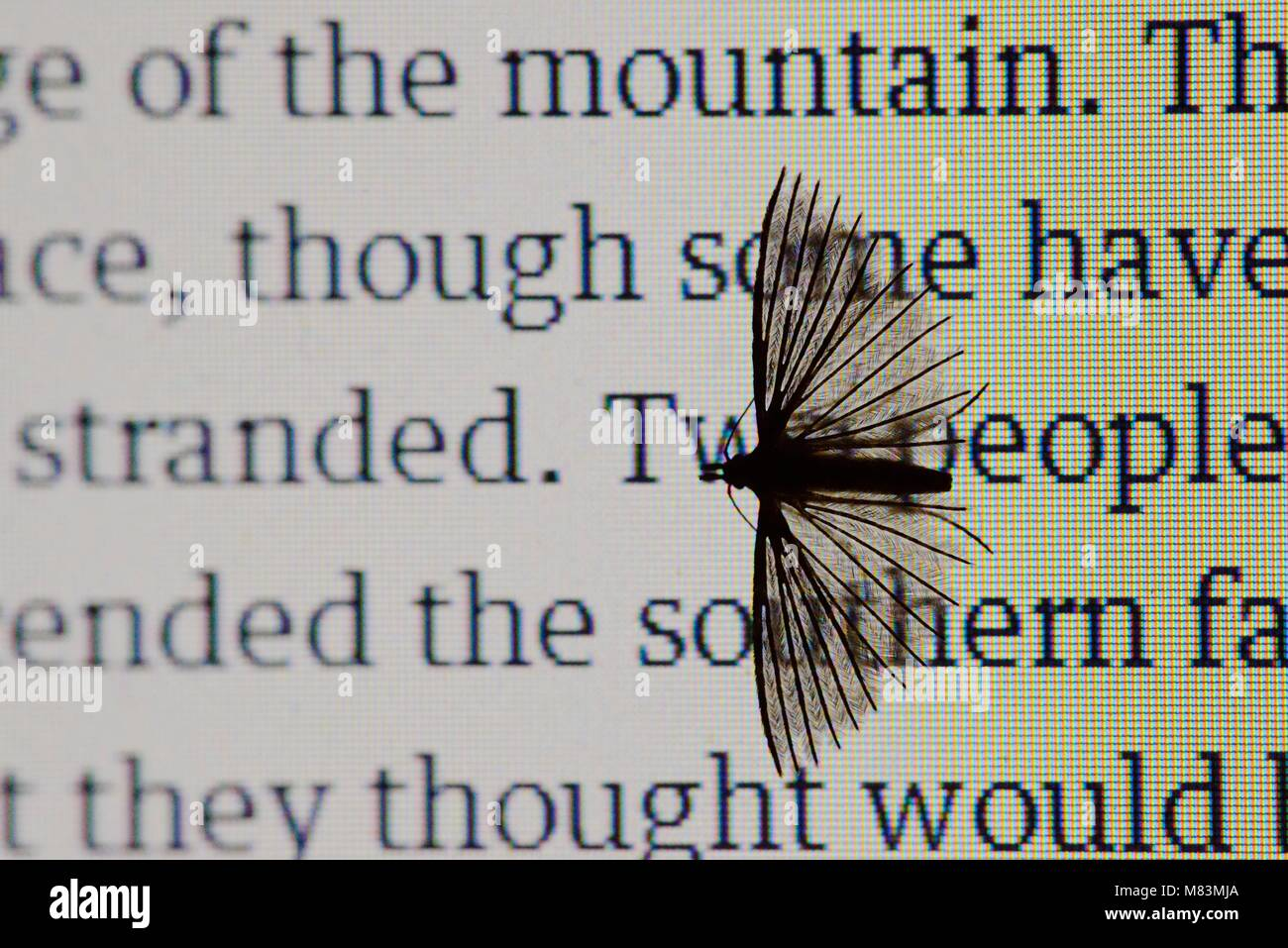 Many Plumed Moth, Alucita hexadactyla, attracted to the light of a laptop screen, Wales, UK. - Stock Image