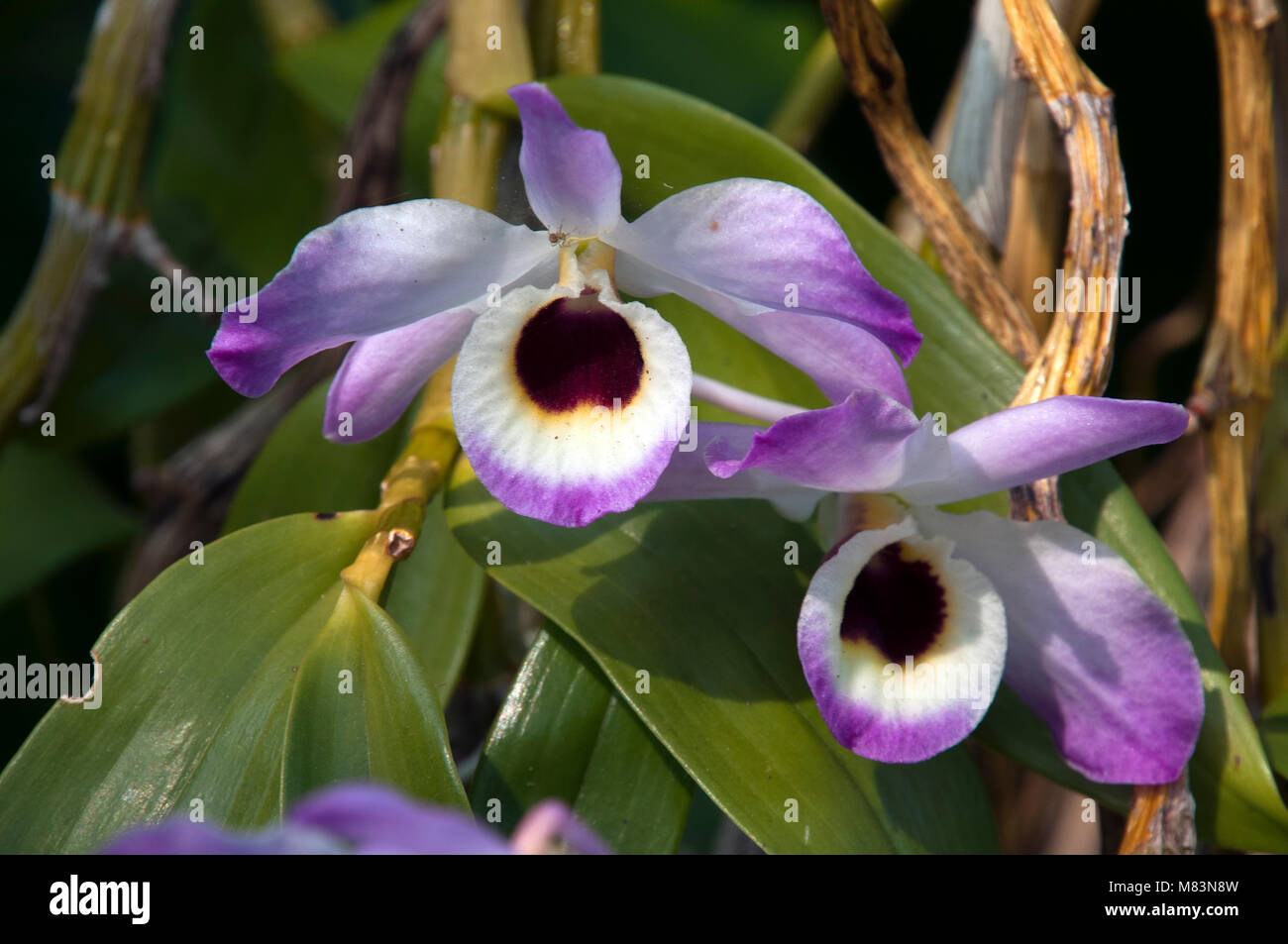 Cooktown Orchid Stock Photos Amp Cooktown Orchid Stock