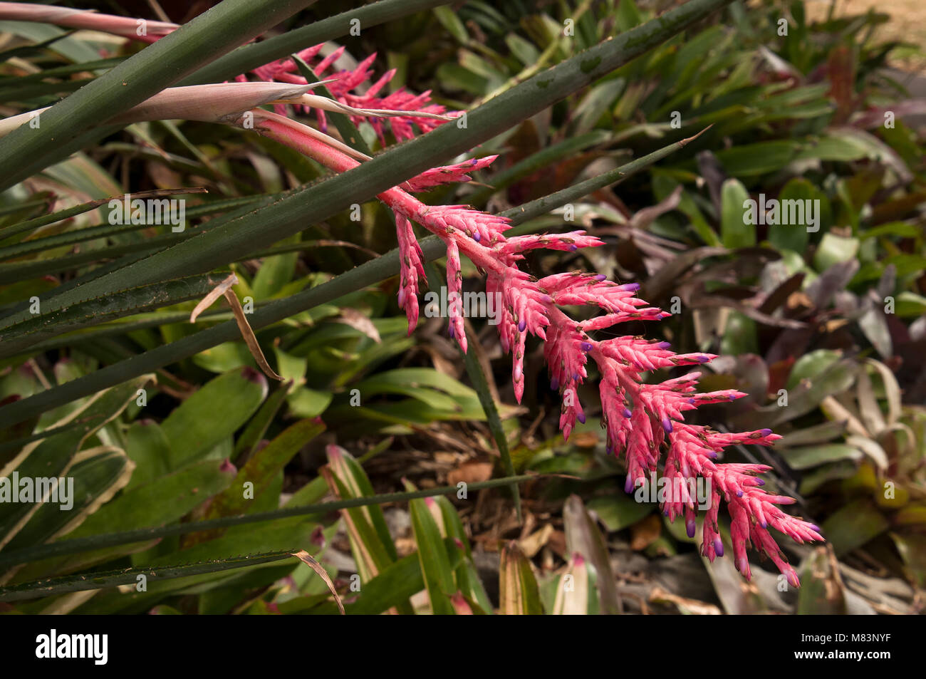 Sydney australia hanging spike of pink bromeliad flower stock photo sydney australia hanging spike of pink bromeliad flower mightylinksfo Image collections