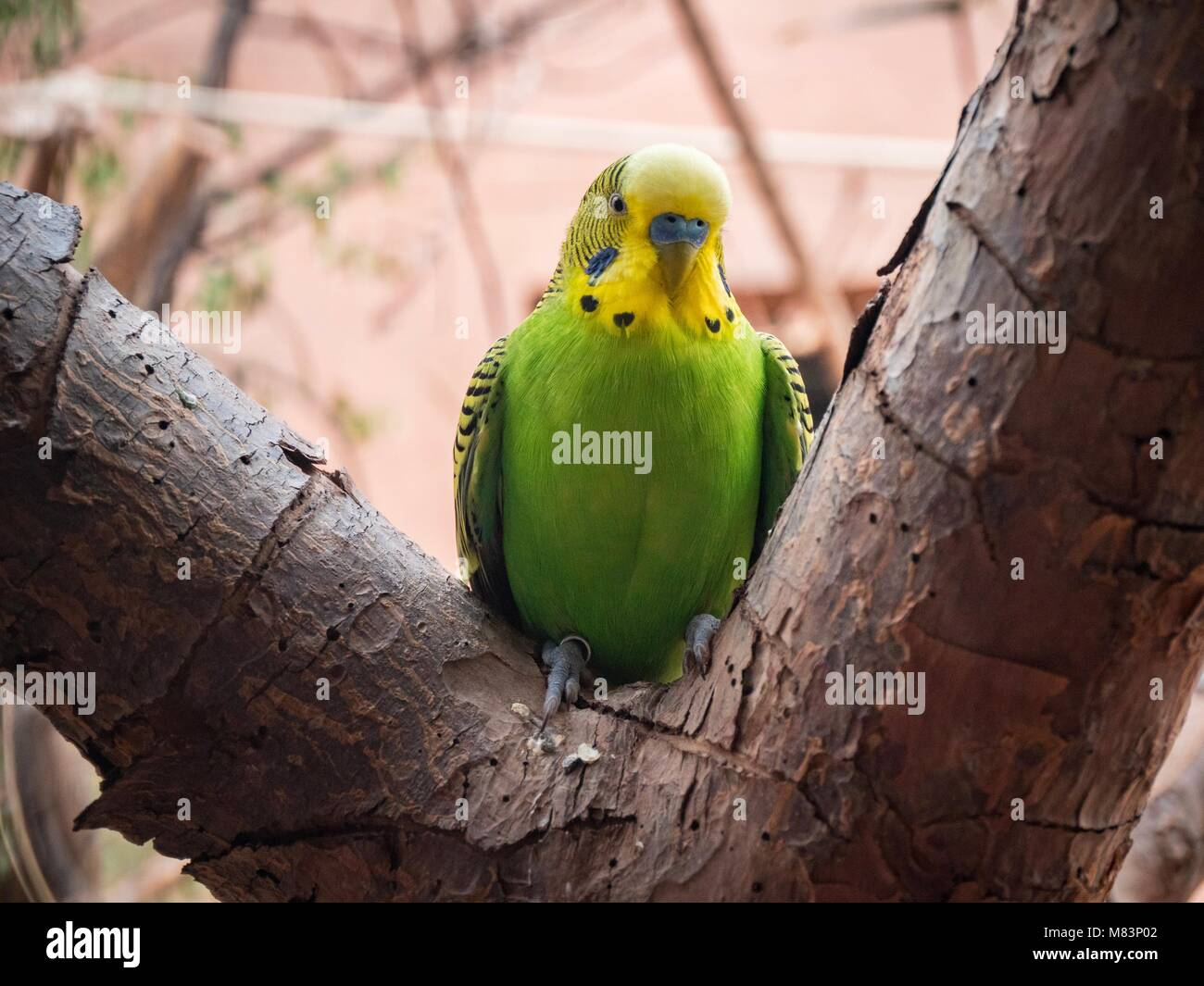 little budgie - Stock Image