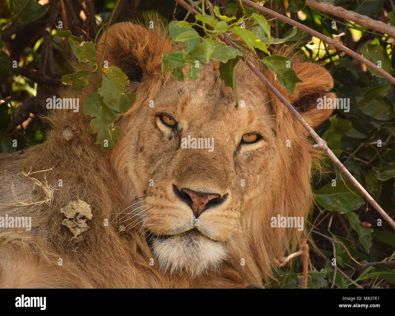 Lion close up portrait - Stock Image