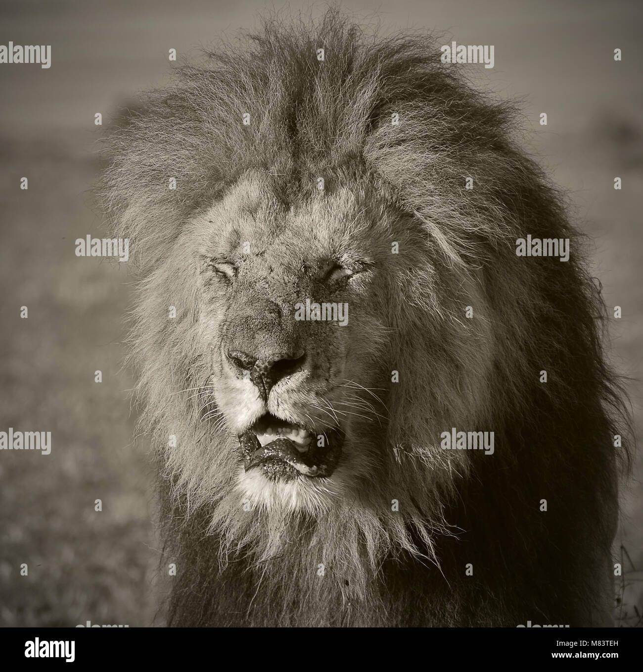 Morning light falling on to lion's face - Stock Image