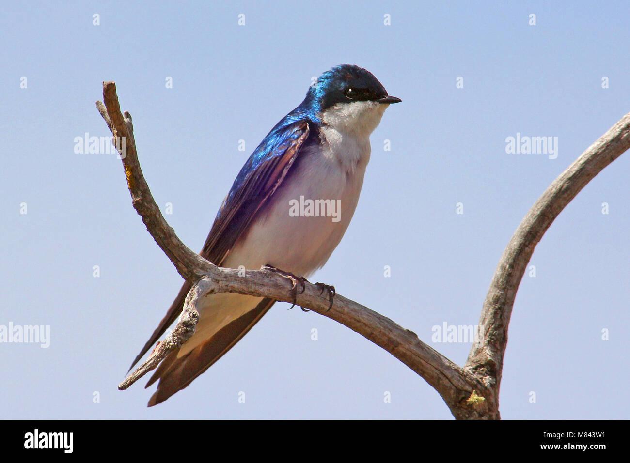 Tree Swallow (Tachycineta bicolor) has taken advantage of bluebird houses over much of North America. Habitat-Open Stock Photo