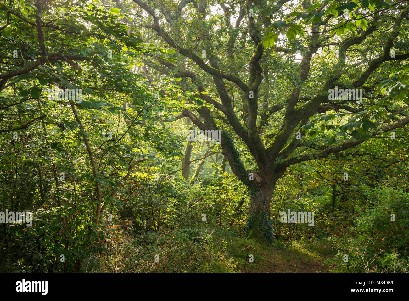 Mature oak tree in verdant deciduous woodland, St Issey, Cornwall, England. Summer (August) 2017. - Stock Image