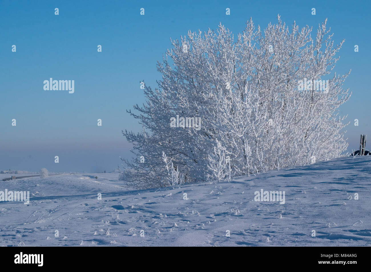 Heavily Frosted Trees against a Robin Egg Blue Sky - Stock Image
