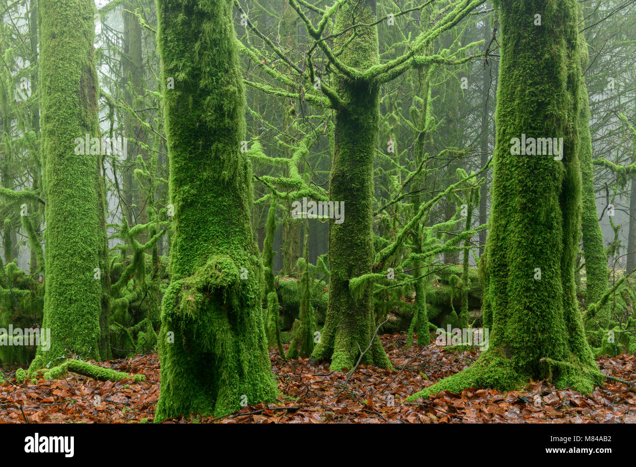 Moss covered trees in foggy Bellever Wood, Dartmoor, Devon, England. Winter (January) 2018. - Stock Image