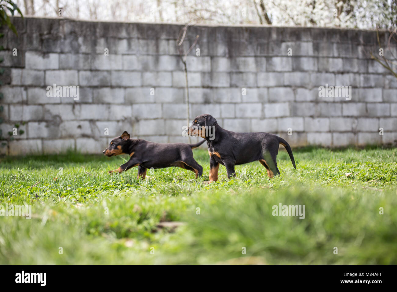 Dobermann puppy - Stock Image