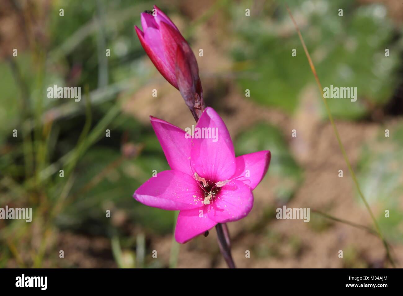 Hesperantha pauciflora - Stock Image