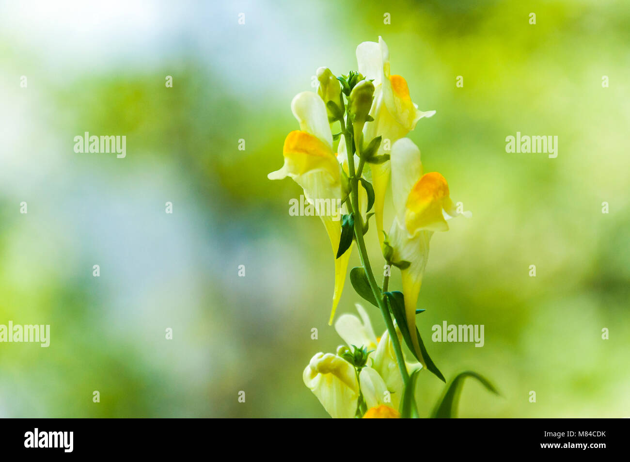 White yellow blooming Linaria wild flower plant. The genus is native to temperate regions of Europe, northern Africa - Stock Image