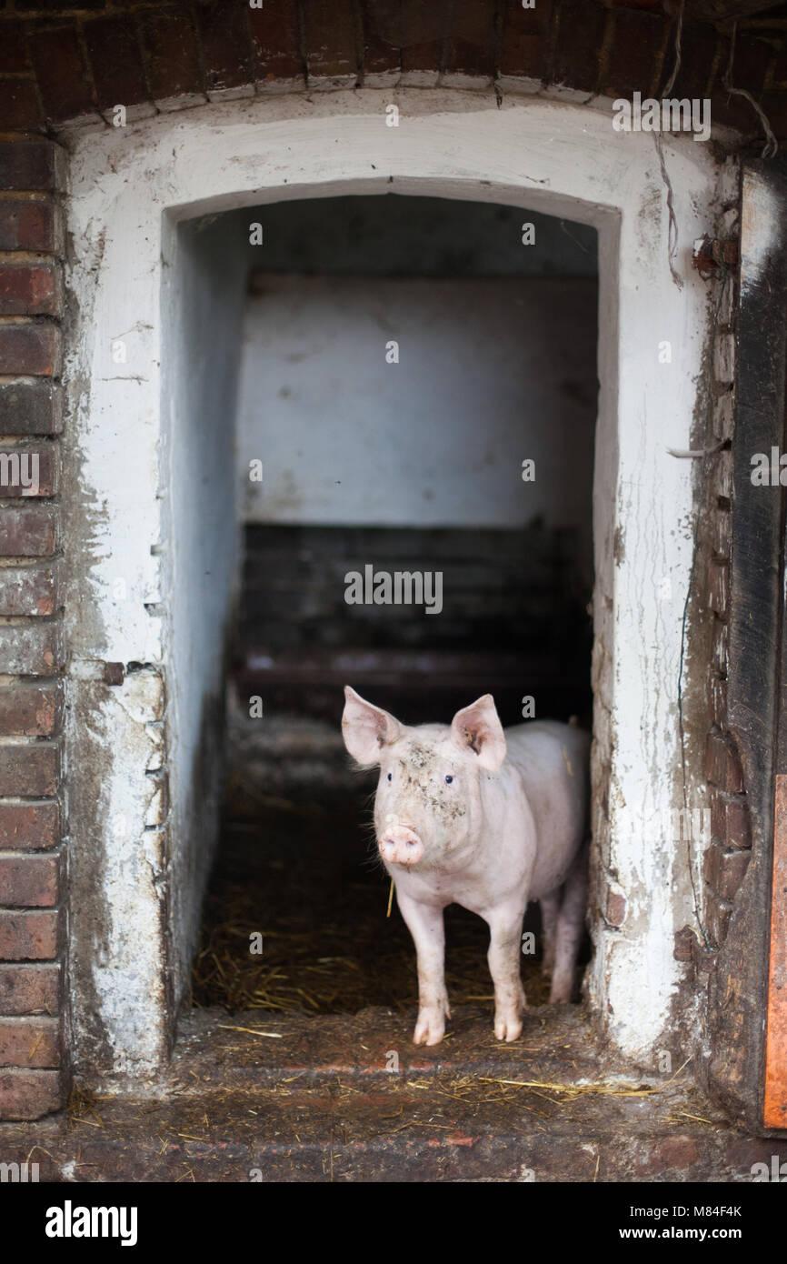 Modern Pig Sty: Breeding Pigs Stock Photos & Breeding Pigs Stock Images